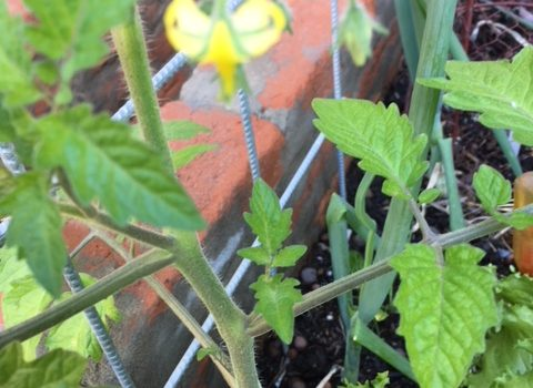 Blog 4   pinching tomato shoots1